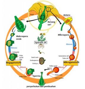 Siklus Hidup Tumbuhan Angiospermae dan Penjelasannya
