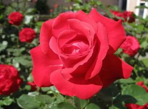 anatomi-bunga-mawar