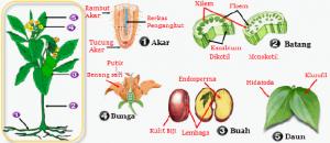 sistem-organ-pada-tumbuhan