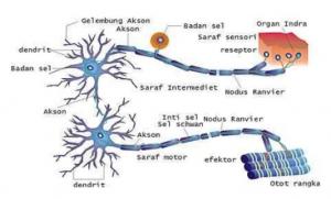 Sistem Saraf Pusat dan Saraf Tepi Pada Manusia