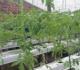 8 Cara Menanam Hidroponik Tomat Di Rumah